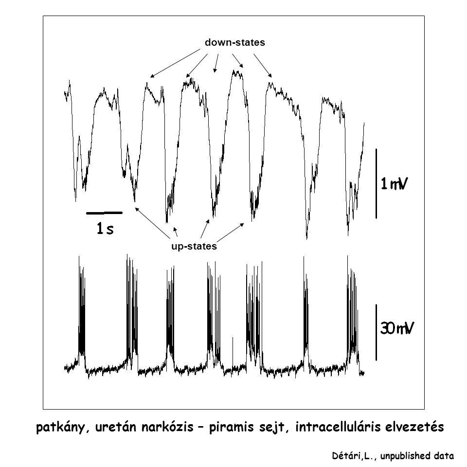 patkány, uretán narkózis – piramis sejt, intracelluláris elvezetés