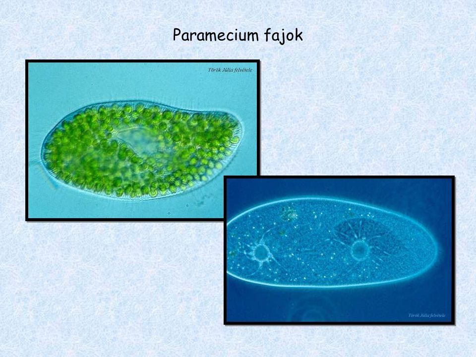Paramecium fajok