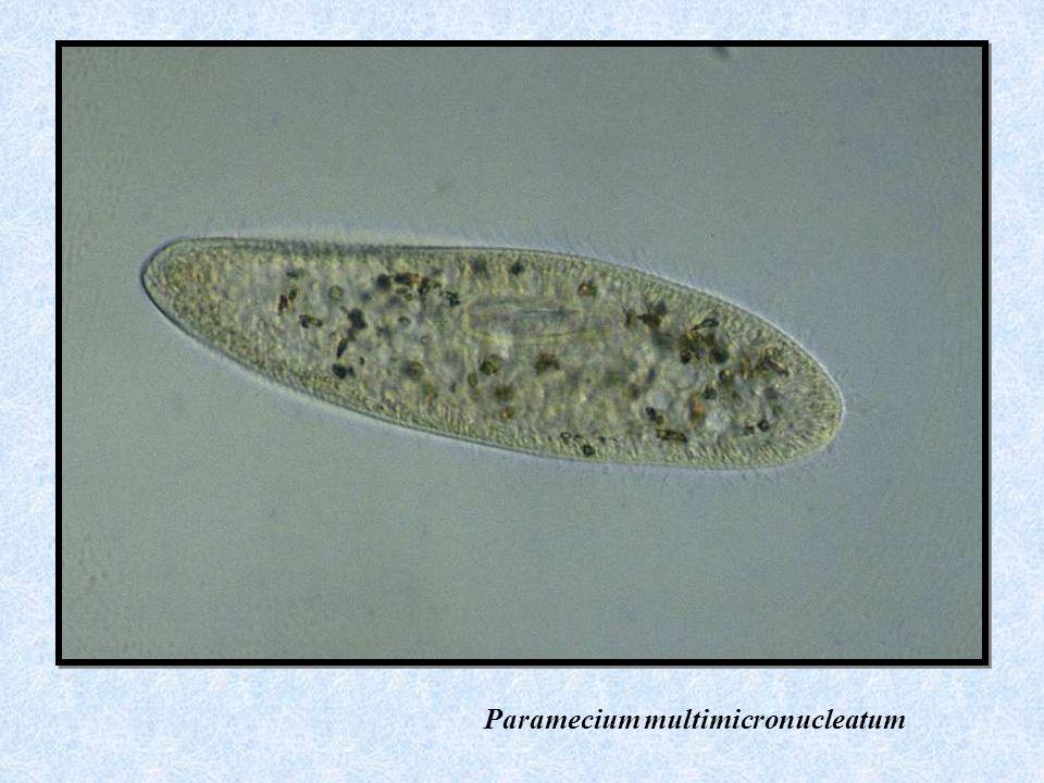 Paramecium multimicronucleatum