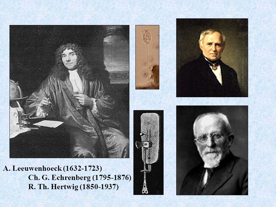 A. Leeuwenhoeck (1632-1723) Ch. G. Echrenberg (1795-1876) R. Th