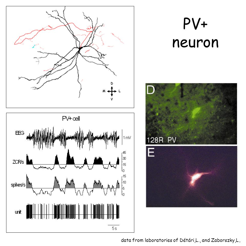 PV+ neuron data from laboratories of Détári,L., and Zaborszky,L. D L V