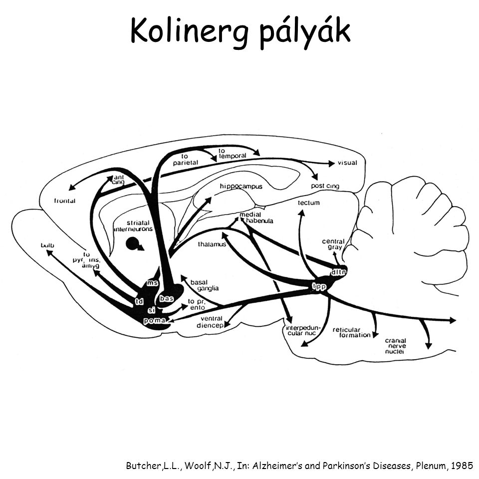 Kolinerg pályák Butcher,L.L., Woolf,N.J., In: Alzheimer's and Parkinson's Diseases, Plenum, 1985