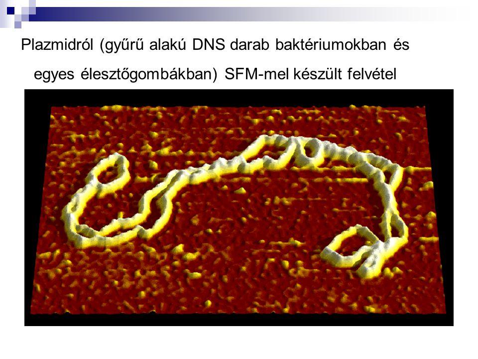 Plazmidról (gyűrű alakú DNS darab baktériumokban és egyes élesztőgombákban) SFM-mel készült felvétel