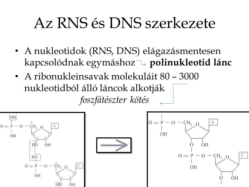 Az RNS és DNS szerkezete