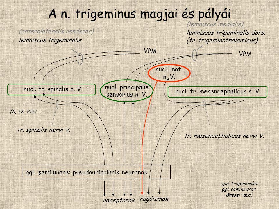 A n. trigeminus magjai és pályái