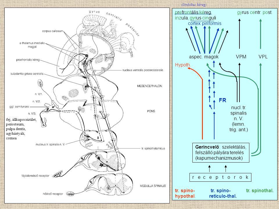 FR prefrontális kéreg gyrus centr. post. inzula, gyrus cinguli