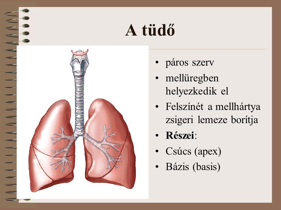 A tüdő páros szerv mellüregben helyezkedik el