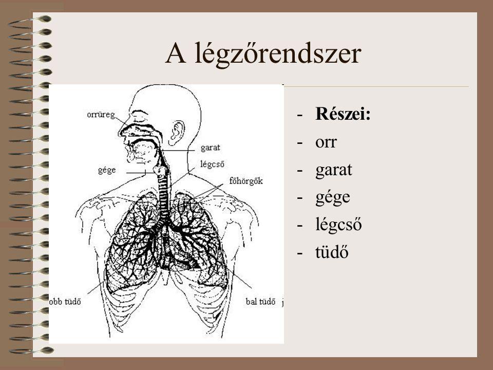 A légzőrendszer Részei: orr garat gége légcső tüdő