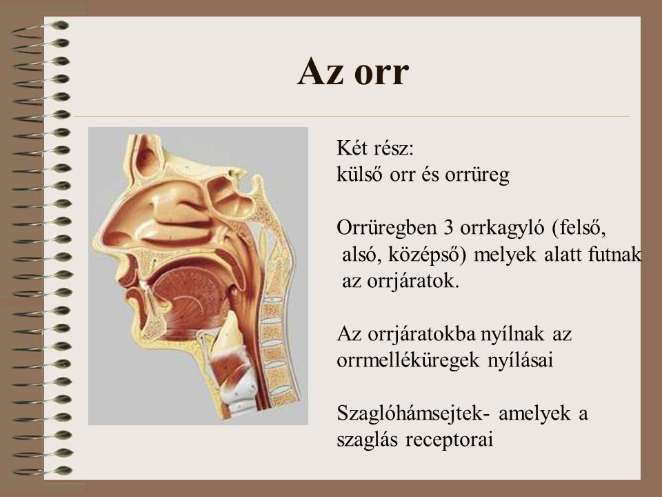 Az orr Két rész: külső orr és orrüreg Orrüregben 3 orrkagyló (felső,