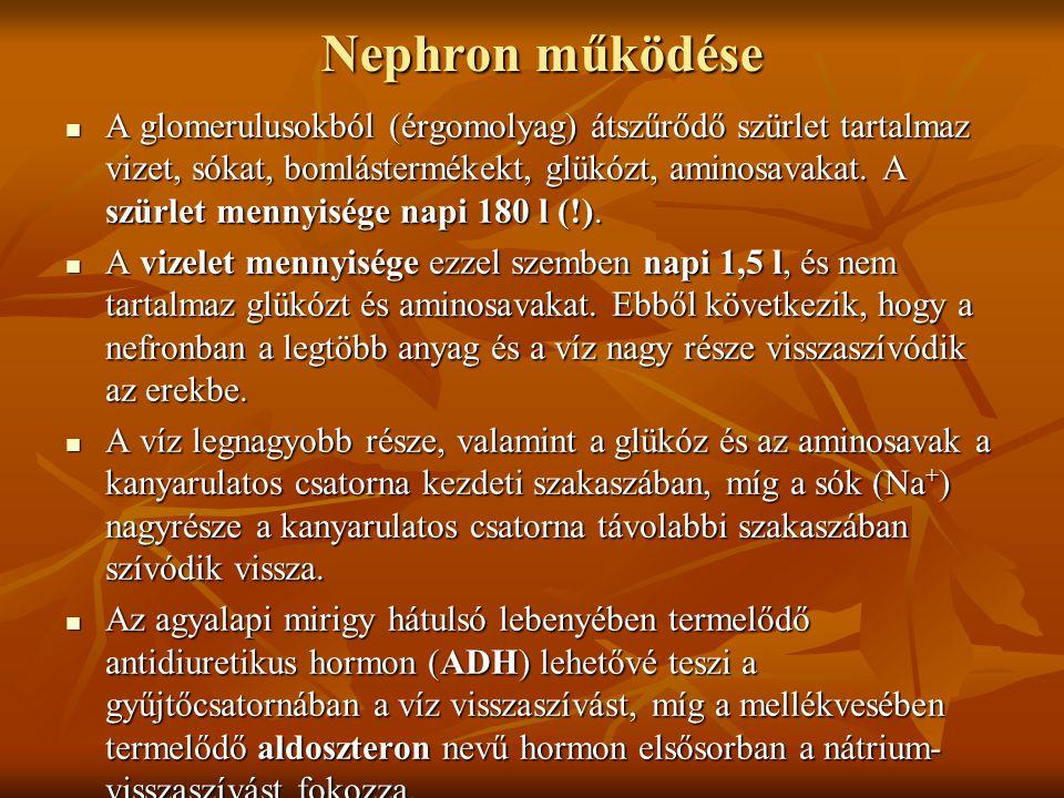 Nephron működése