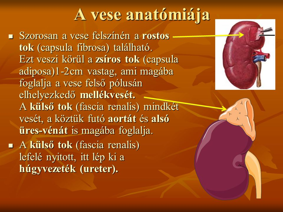 A vese anatómiája