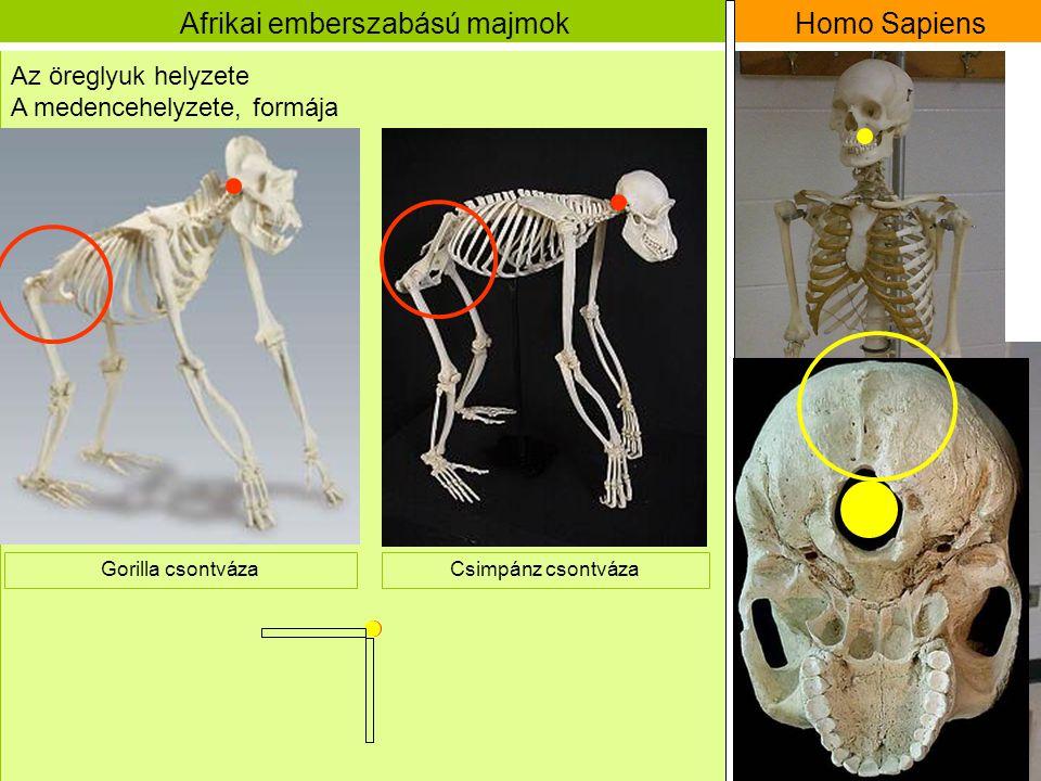 Afrikai emberszabású majmok Homo Sapiens