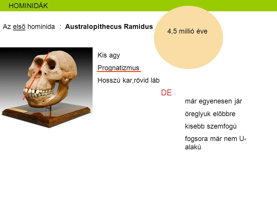 DE HOMINIDÁK Az első hominida : Australopithecus Ramidus