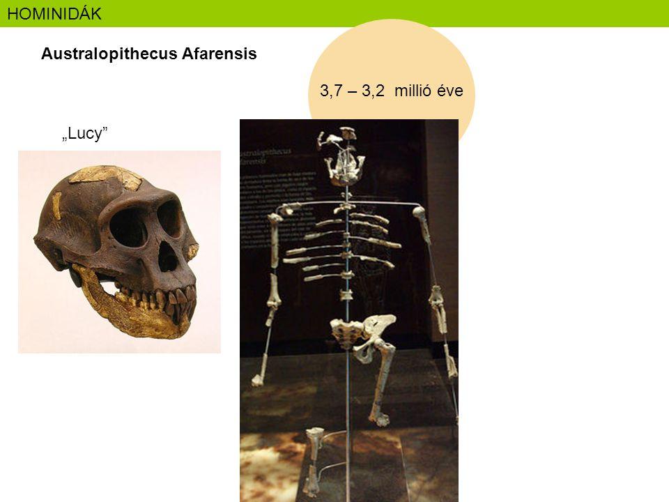 "HOMINIDÁK Australopithecus Afarensis 3,7 – 3,2 millió éve ""Lucy"