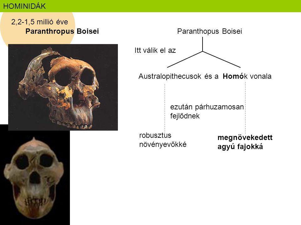 HOMINIDÁK 2,2-1,5 millió éve. Paranthropus Boisei. Paranthopus Boisei. Itt válik el az. Australopithecusok és a Homók vonala.