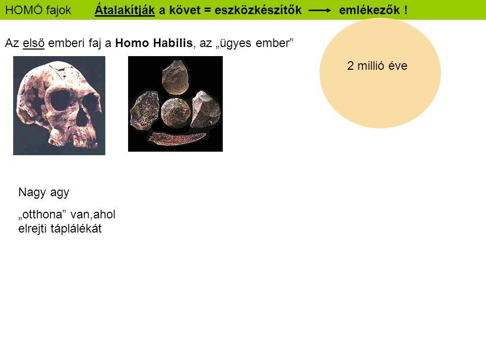 """HOMÓ fajok Átalakítják a követ = eszközkészítők emlékezők ! Az első emberi faj a Homo Habilis, az """"ügyes ember"""