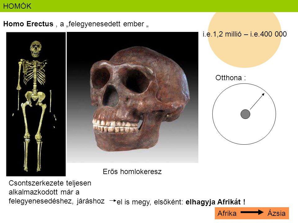 """HOMÓK i.e.1,2 millió – i.e.400 000. Homo Erectus , a """"felegyenesedett ember """" Otthona : Erős homlokeresz."""