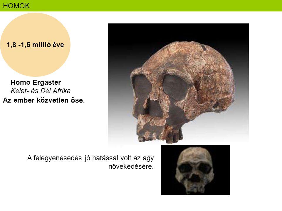 HOMÓK 1,8 -1,5 millió éve. Homo Ergaster Kelet- és Dél Afrika. Az ember közvetlen őse.