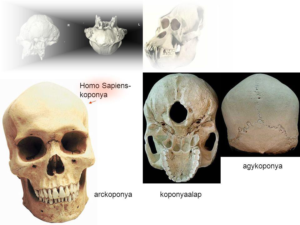 Homo Sapiens- koponya gorillakoponya agykoponya arckoponya koponyaalap