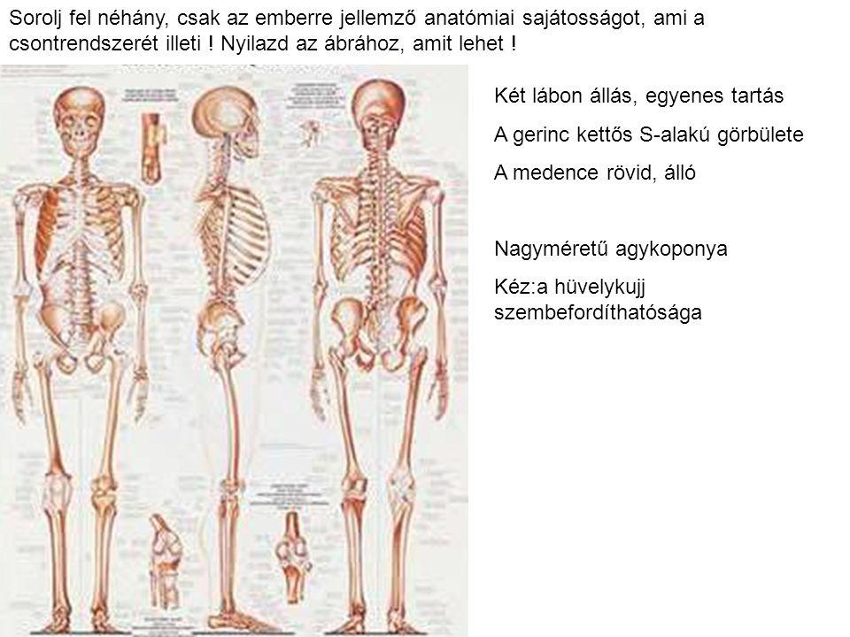 Sorolj fel néhány, csak az emberre jellemző anatómiai sajátosságot, ami a csontrendszerét illeti ! Nyilazd az ábrához, amit lehet !