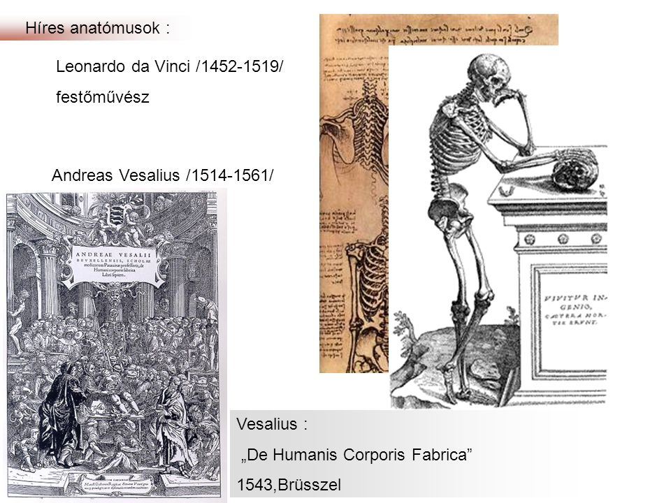 Híres anatómusok : Leonardo da Vinci /1452-1519/ festőművész. Andreas Vesalius /1514-1561/ orvos.