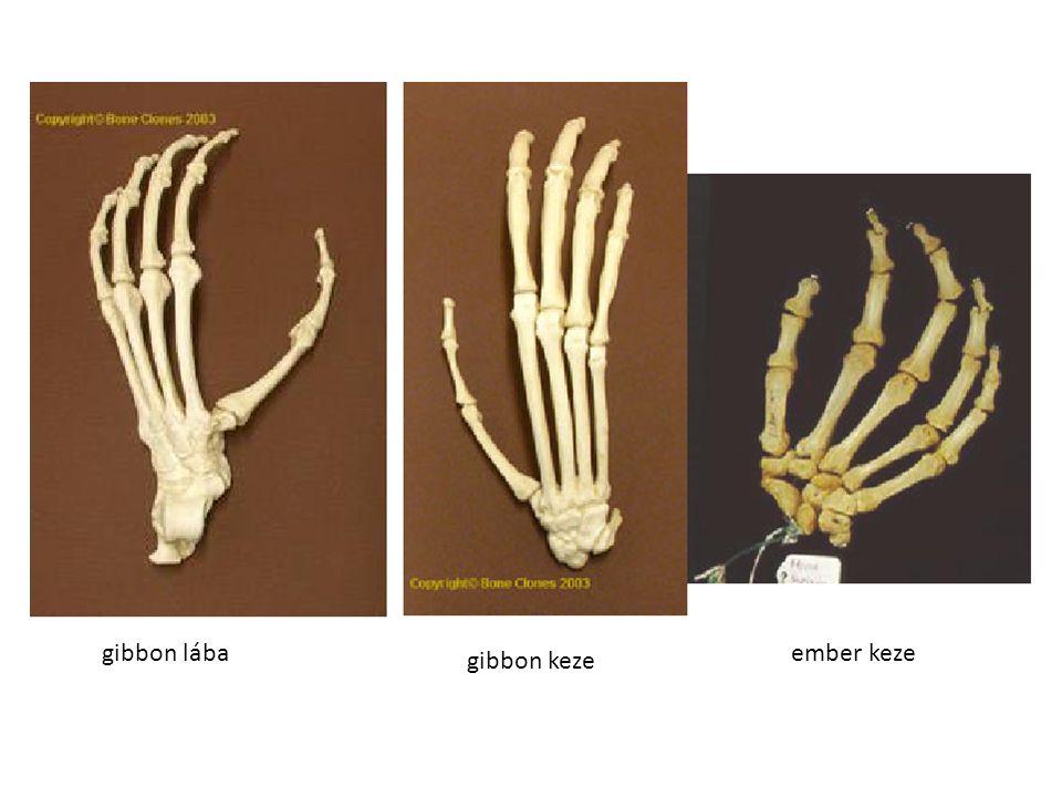 gibbon lába ember keze gibbon keze
