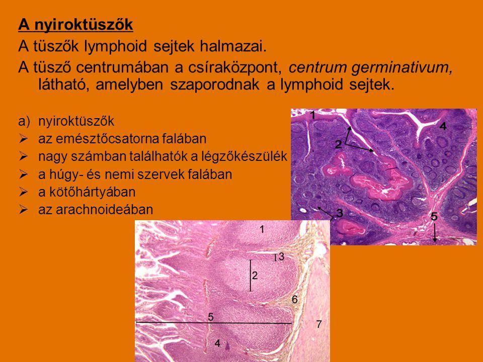 A tüszők lymphoid sejtek halmazai.