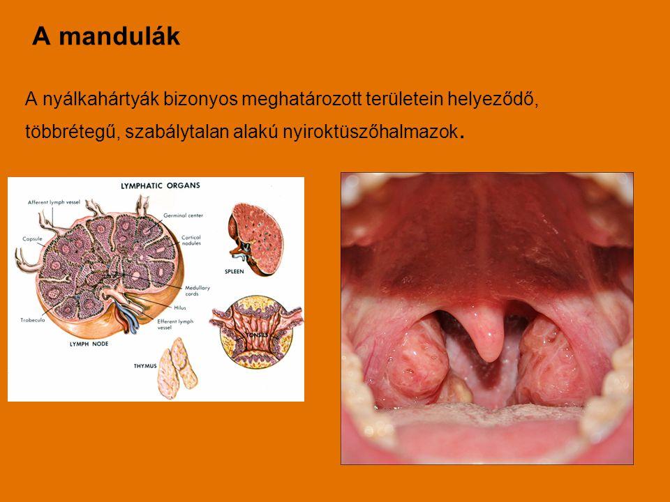 A mandulák A nyálkahártyák bizonyos meghatározott területein helyeződő, többrétegű, szabálytalan alakú nyiroktüszőhalmazok.