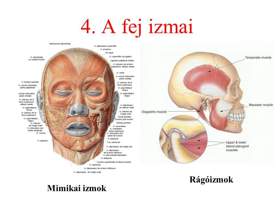 4. A fej izmai Rágóizmok Mimikai izmok