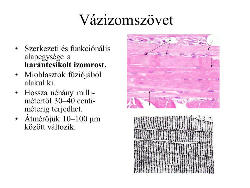 Vázizomszövet Szerkezeti és funkciónális alapegysége a harántcsíkolt izomrost. Mioblasztok fúziójából alakul ki.