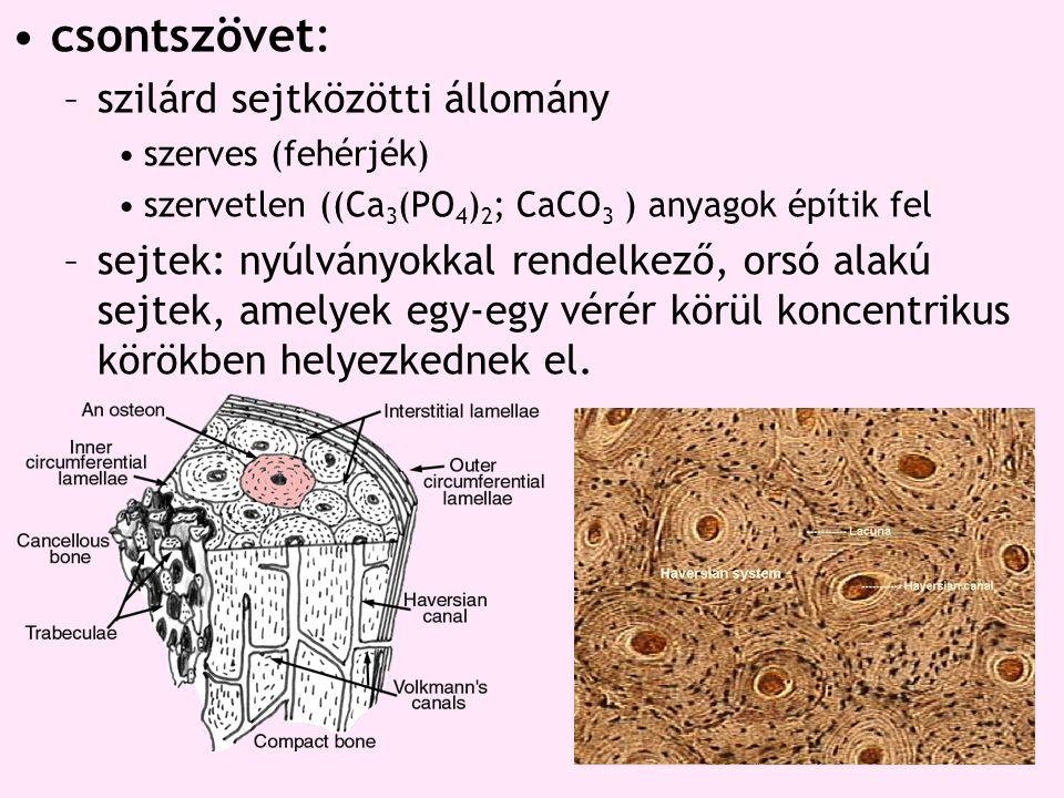 csontszövet: szilárd sejtközötti állomány