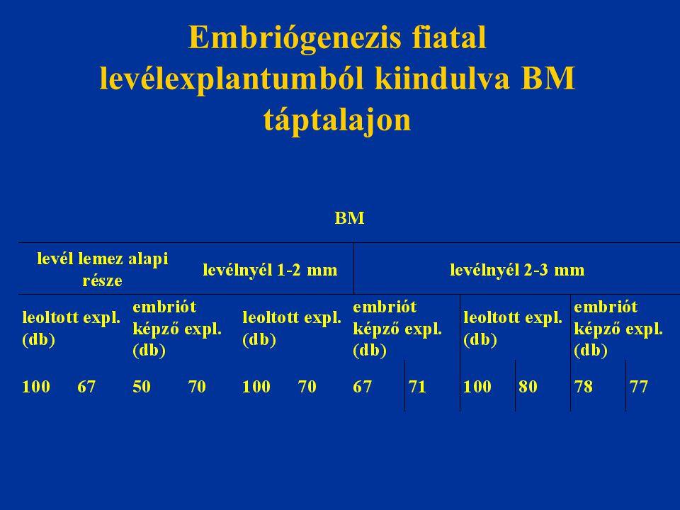 Embriógenezis fiatal levélexplantumból kiindulva BM táptalajon