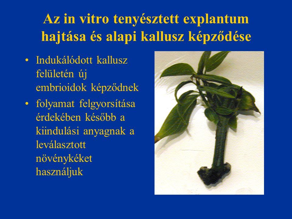 Az in vitro tenyésztett explantum hajtása és alapi kallusz képződése