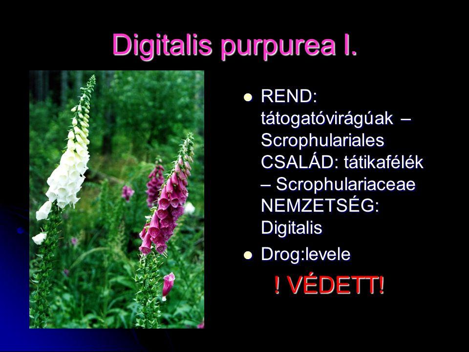Digitalis purpurea I. REND: tátogatóvirágúak – Scrophulariales CSALÁD: tátikafélék – Scrophulariaceae NEMZETSÉG: Digitalis.