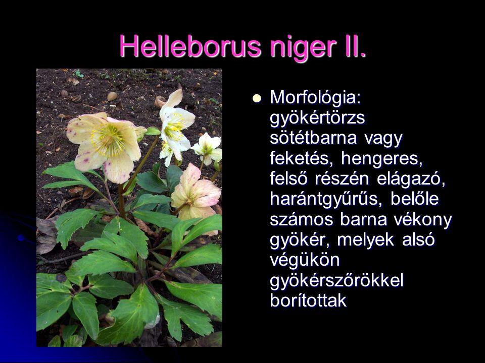 Helleborus niger II.