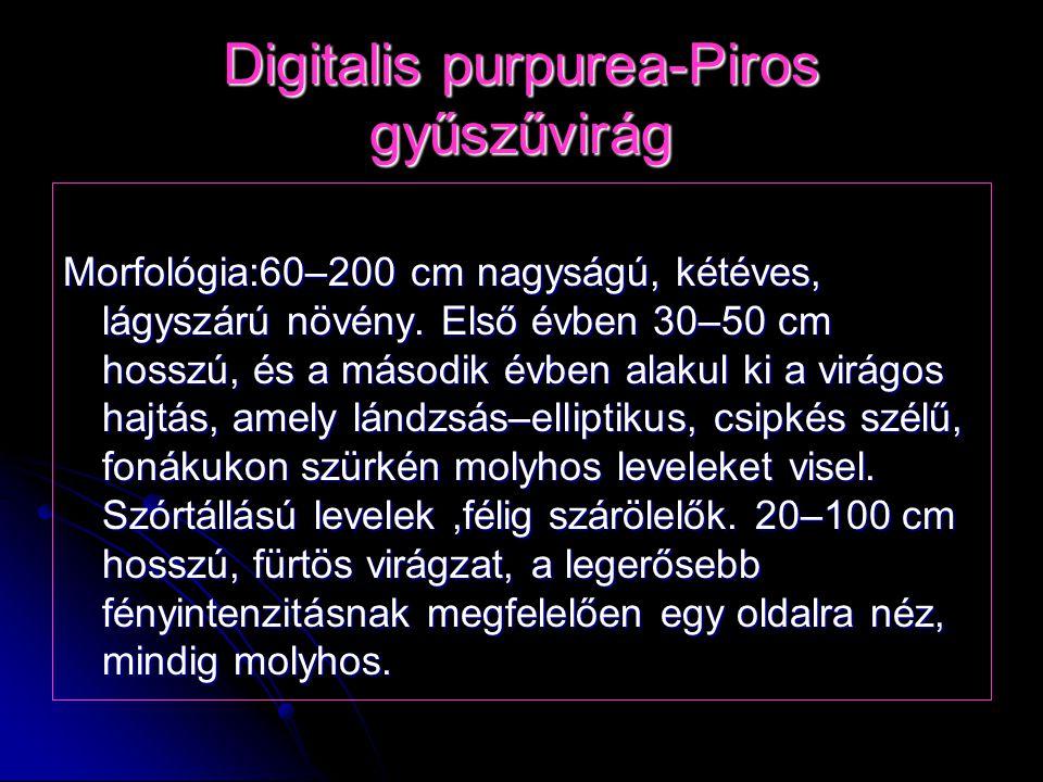 Digitalis purpurea-Piros gyűszűvirág