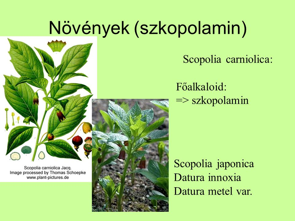 Növények (szkopolamin)