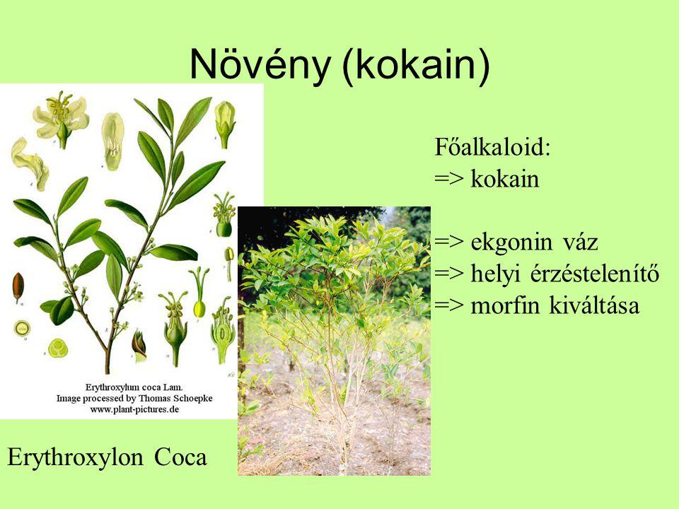 Növény (kokain) Főalkaloid: => kokain => ekgonin váz