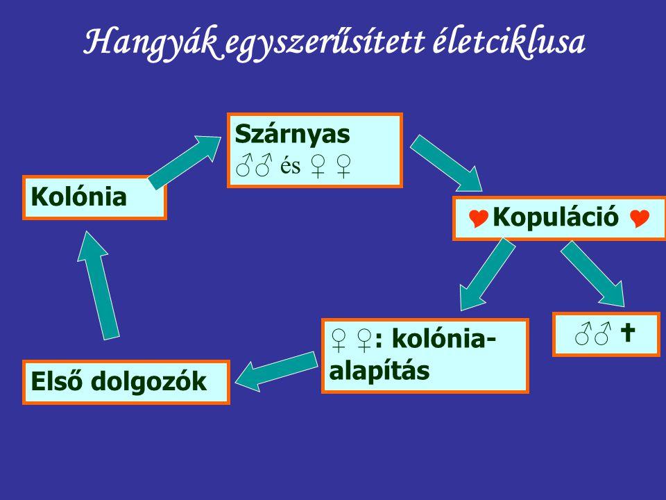 Hangyák egyszerűsített életciklusa
