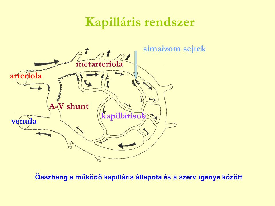 Kapilláris rendszer simaizom sejtek metarteriola arteriola A-V shunt