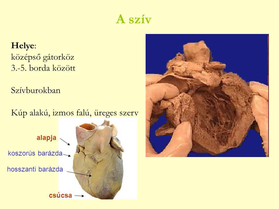 A szív Helye: középső gátorköz 3.-5. borda között Szívburokban
