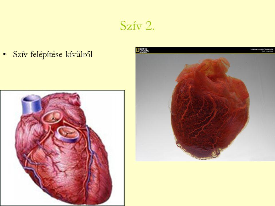 Szív 2. Szív felépítése kívülről