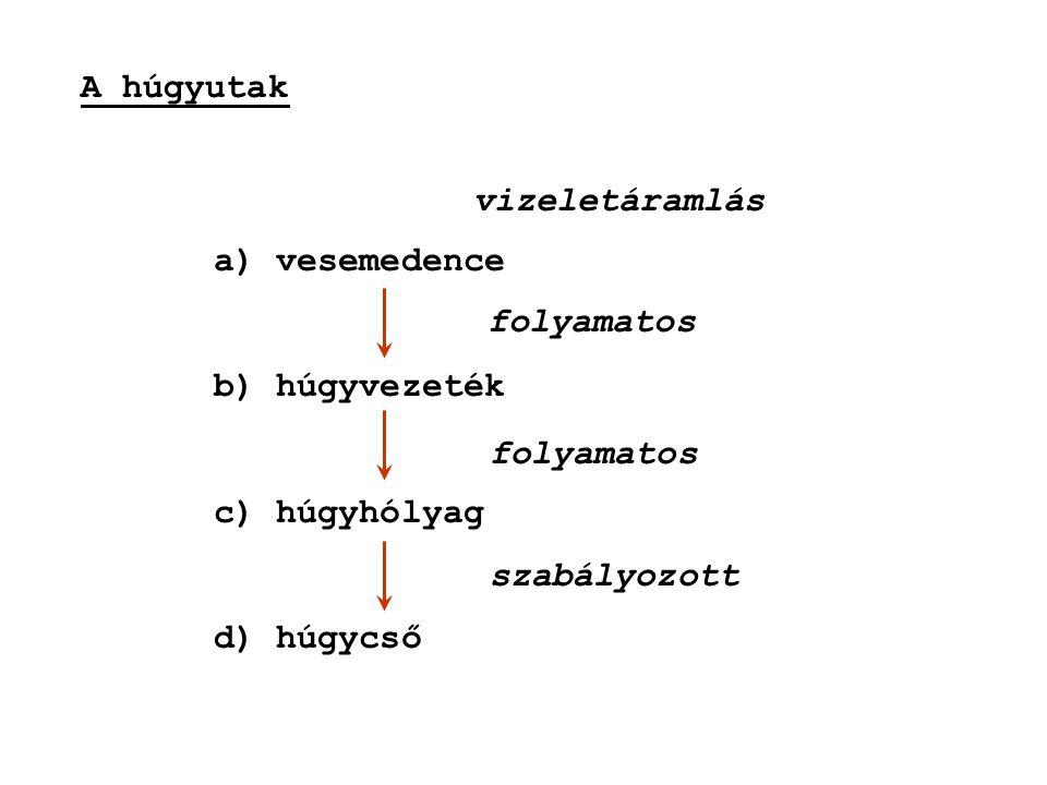 A húgyutak a) vesemedence. b) húgyvezeték. c) húgyhólyag. d) húgycső. folyamatos. szabályozott.