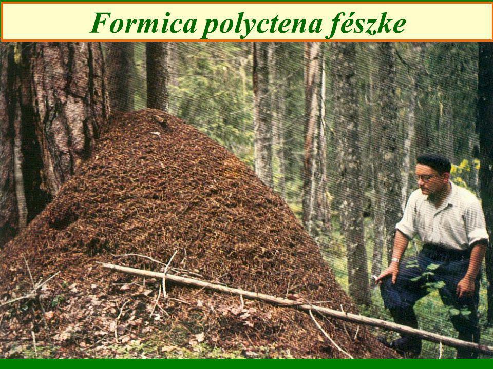 Formica polyctena fészke