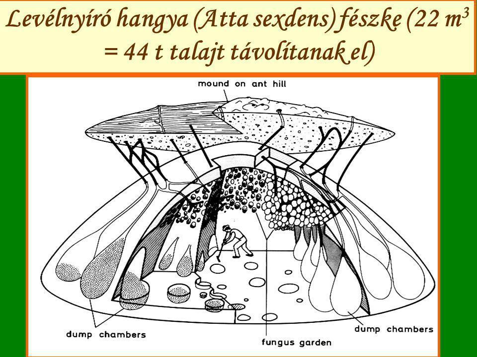 Levélnyíró hangya (Atta sexdens) fészke (22 m3 = 44 t talajt távolítanak el)
