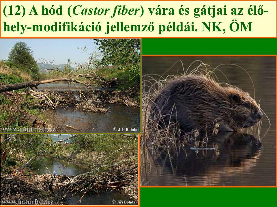 (12) A hód (Castor fiber) vára és gátjai az élő-hely-modifikáció jellemző példái. NK, ÖM
