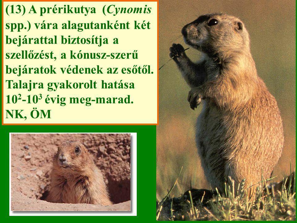(13) A prérikutya (Cynomis spp