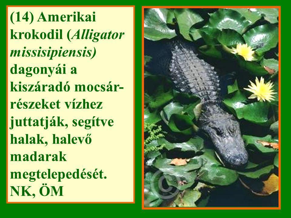 (14) Amerikai krokodil (Alligator missisipiensis) dagonyái a kiszáradó mocsár-részeket vízhez juttatják, segítve halak, halevő madarak megtelepedését.