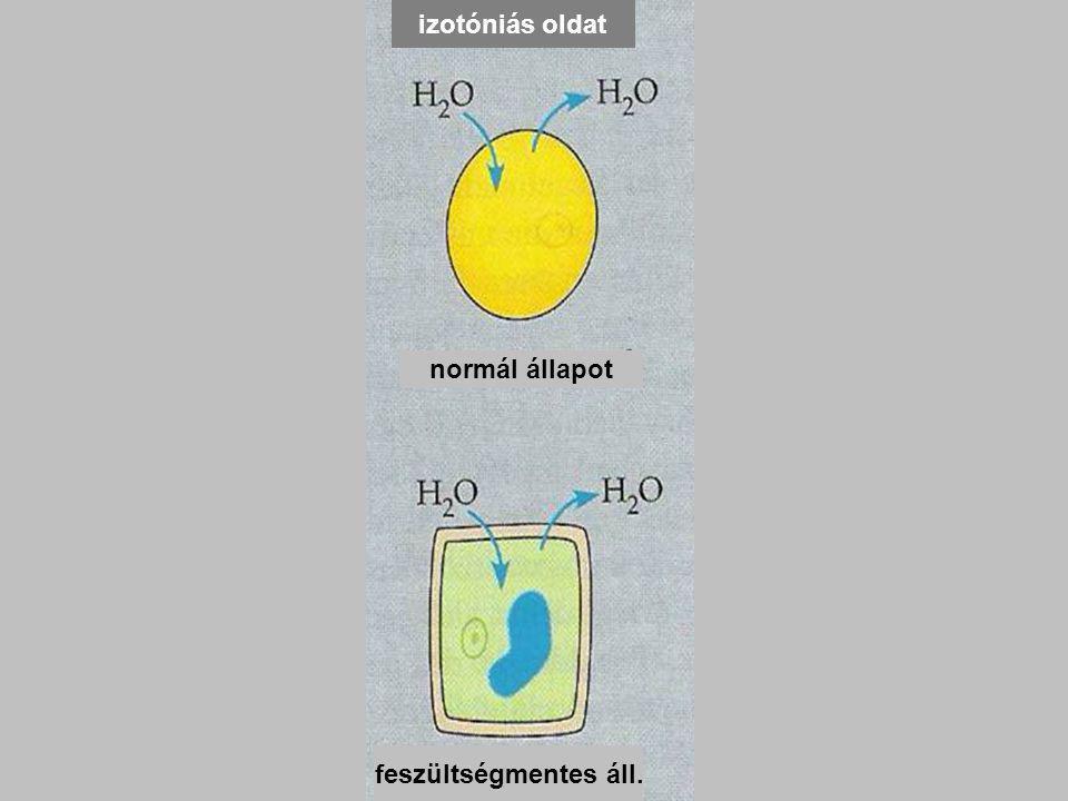 hipertóniás oldat izotóniás oldat. hipotóniás oldat. lízis. zsugorodás. normál állapot. feszültségmentes áll.