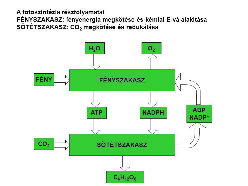 A fotoszintézis részfolyamatai
